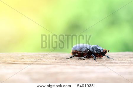 Scarab walking on wooden floors with green nature background.