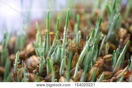 little green sprout of wheat sprouted in the spring for planting or for human consumption in its natural form as a healthy food