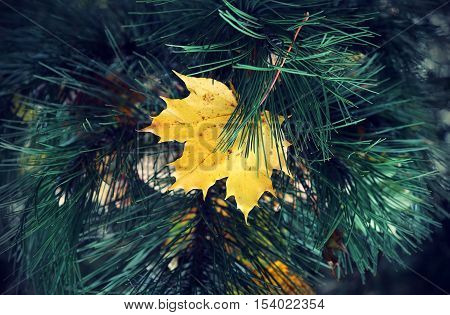 Bright yellow leaf of autumn maple stuck in coniferous tree branches