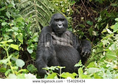 one of the 700 free lived last gorillas in the rainforest in Uganda silverback the head of the family