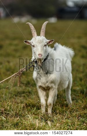 Goat grazing on field. Farm subsistence farming. Autumn.