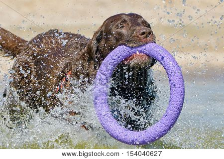 Brown labrador running along the coast from the puller