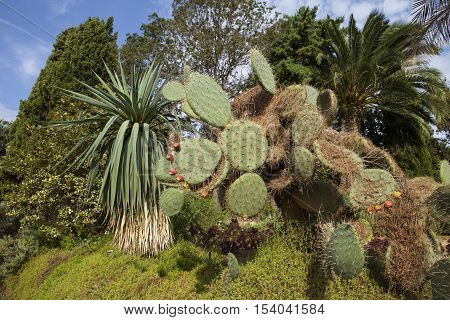 Prickly pears cactus with fruit (Opuntia ficus - indica). Blanes Botanic Garden, Catalonia, Spain