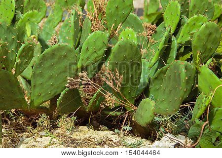 A plot of land with growing green prickly cactus