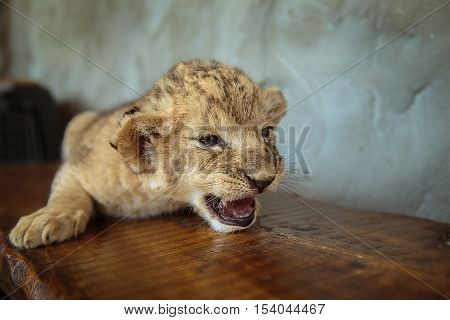 Little lion cub lying on a bench and growls