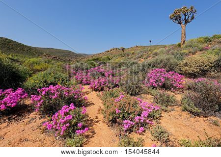 Landscape of brightly colored wild flowers and quiver tree, Namaqualand, Northern Cape, South Africa