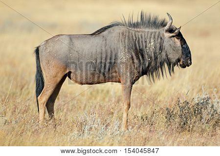 A blue wildebeest (Connochaetes taurinus) in natural habitat, Etosha National Park, Namibia