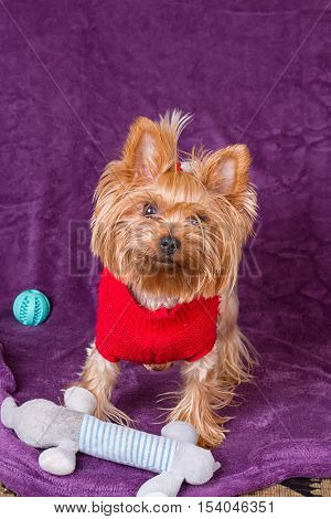 Yorkshire terrier with his dog toys on a purple background