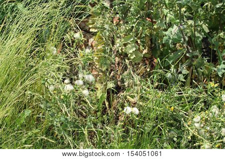Extremely tall overgrown grass with faded thistle and other weeds with rusty wheelbarror in the middle of wild bush