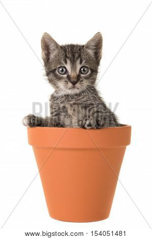 Cute 5 weeks old tabby baby cat in a brown terracotta coloured flower pot isolated on a white background
