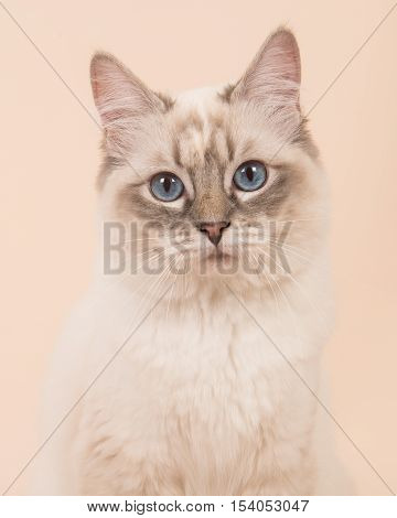 Ragdoll cat portrait facing the camera with blue eyes on a cream background