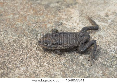 dried toad. frog dry. Dried mummy squashed toad on the road accident