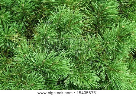 Branches of a coniferous tree nature background