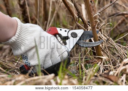 hand in glove pruning raspberry with secateurs in the garden