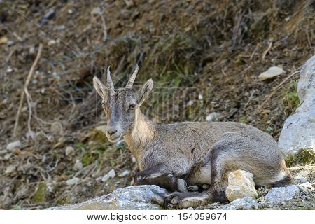 Young alpine ibex closeup in zoological garden