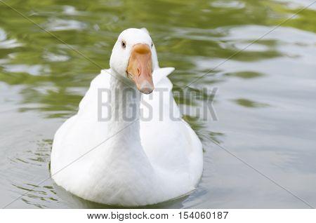 an european white swan on a lake
