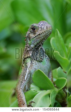 Fantastic looking iguana perched in a green bush.