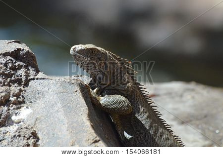 Brown iguana perched on the upside of a rock.