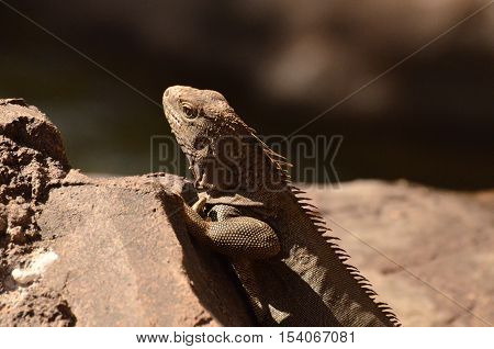Up close with a brown iguana perched on a brown rock.