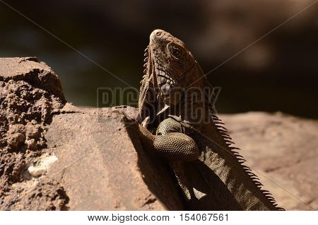 Brown iguana perched on a rock in Aruba.