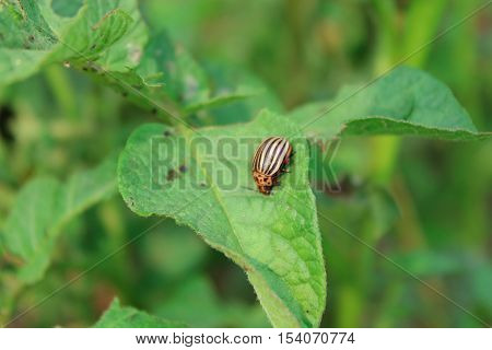 colorado gluttonous bug sits on the leaf of potato
