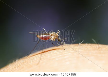 pesky little mosquito sits and drinks the blood of a full belly
