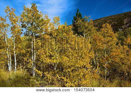 Quaking Aspen Tree leaves changing yellow and golden taken in the Sierra Nevada Mountains, CA during autumn foliage