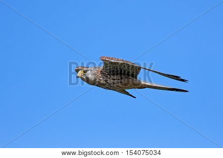 Common kestrel in flight with blue skies in the background