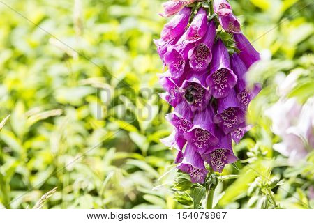 Digitalis detail with green blurry background A