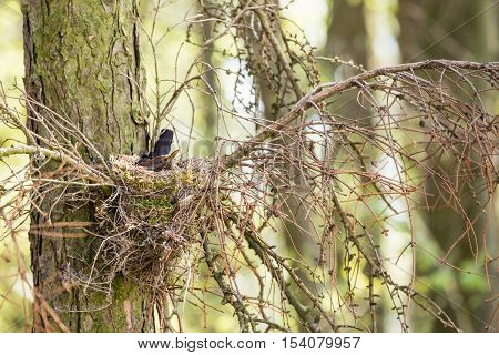 The Common Blackbird - Turdus Merula