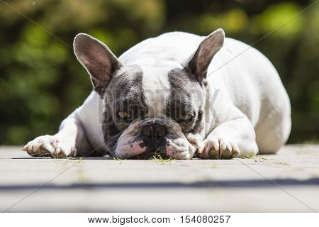 French Bulldog - Canis Lupus Familiaris