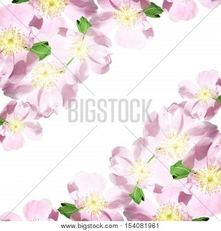 Beautiful floral background with pink dogrose. Isolated