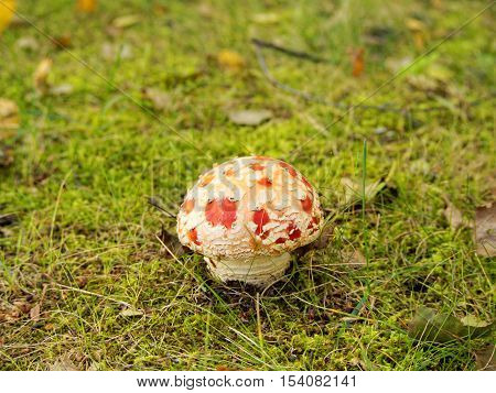 Fly agaric or Amanita muscaria in the grass
