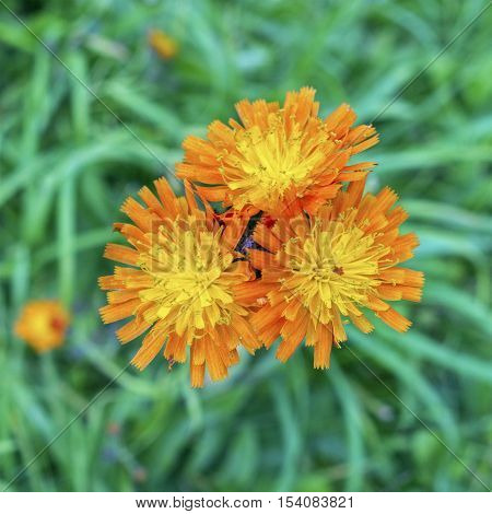 Three flower heads of Fox and cubs Pilosella aurantiaca plant blooming in Northumberland UK