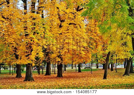 Colorful horse-chestnut trees fallen leaves in autumn