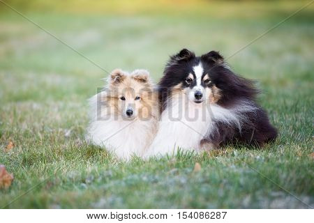 two adorable sheltie dogs lying down outdoors