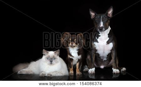 two dogs and a cat posing together on black background