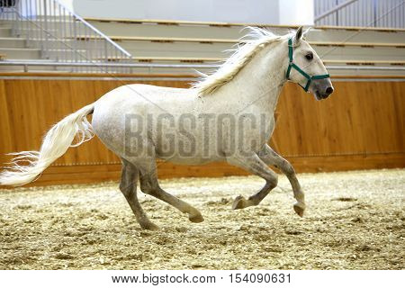 Thoroughbred lipizzaner runs alone empty riding hall. Young purebred lipizzan breed horse canter alone