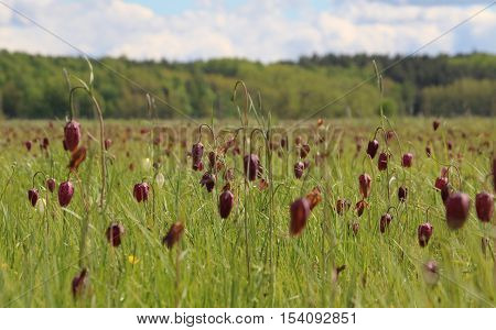 A field of red/purple snake's heads (Fritillaria meleagris) with shallow depth of field. Forest in the background.