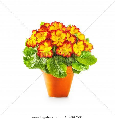 Spring primrose flowers. Flowerpot with yellow primula bunch isolated on white background clipping path included