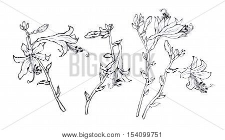 Branch of hosta flower (delicate lily).  Hosta ventricosa minor, asparagaceae family. Hand drawn black and white illustration on white backgroundŒ.