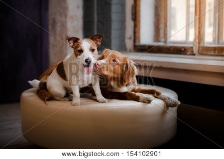 Happy Dogs Jack Russell Terrier And Nova Scotia Duck Tolling Retriever Lying On A Leather Pouffe At