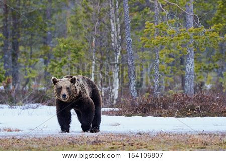 Wild brown bear walking in the taiga in late winter
