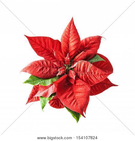 Winter flowers. Red poinsettia isolated on white background. Christmas time. Single object with clipping path