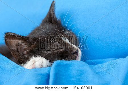 kitten black and white on blue background