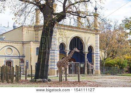 Reticulated Giraffes (giraffa Reticulata) In The Berlin Zoo