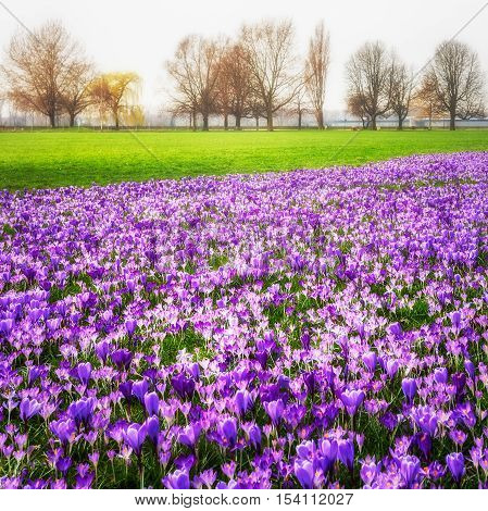 Violett blooming crocus flowers in the park. Spring landscape. Beauty in nature