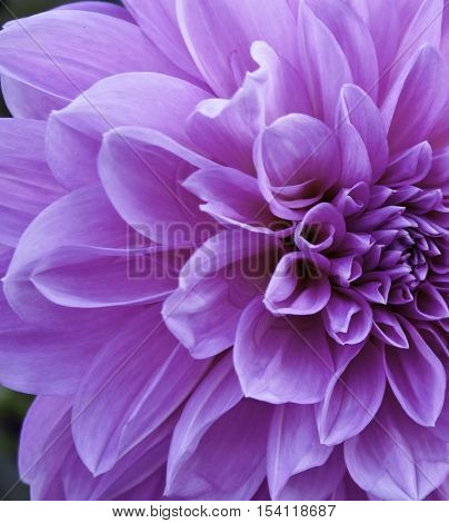 Close up of half of a pinkish mauve Dahlia, center and leaves filling the frame on a slightly overcast but bright day in October.