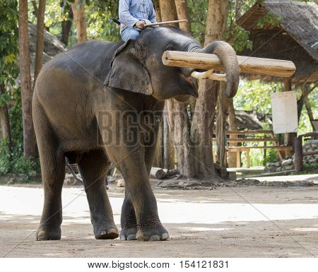 Image of a elephants lift up timber on nature background in thailand.