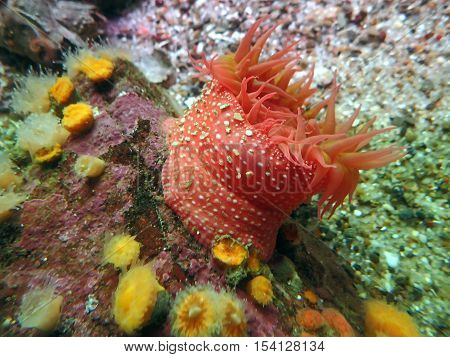 Orange sea anemone on a colorful coral outcrop of pink yellow and green